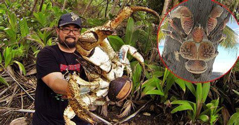 kepiting kelapa spesies kepiting luar biasa  mungkin