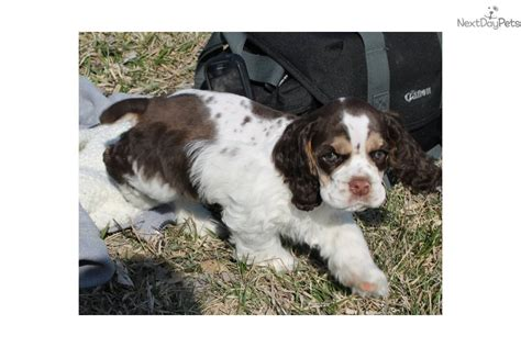 cocker spaniel puppies for sale in missouri cocker spaniel puppy for sale near st joseph missouri be5042ea aa31