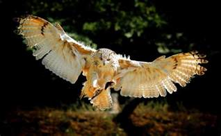 Cures For Blindness Owls In Folklore And Mythology Fluff The Dream Owl
