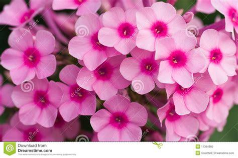 imagenes de flores 3d en uñas flores rosadas del phlox foto de archivo imagen de fine