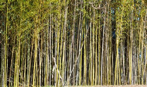 bamboo trees free stock photo public domain pictures