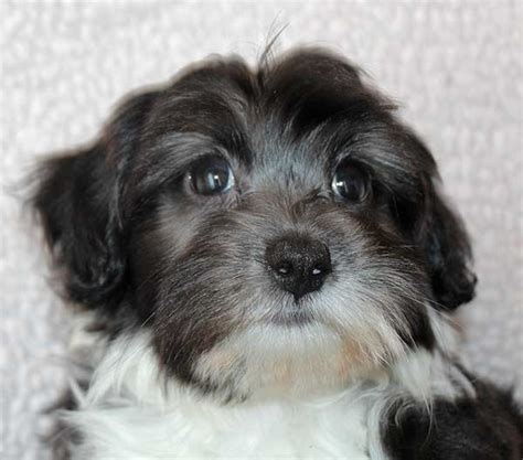 shih tzu tips advice shih tzu grooming tips stuff breeds picture