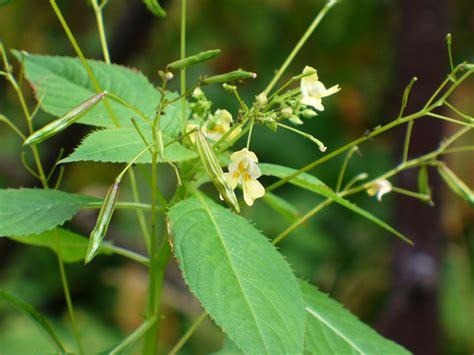 impatiens parviflora wikispecies