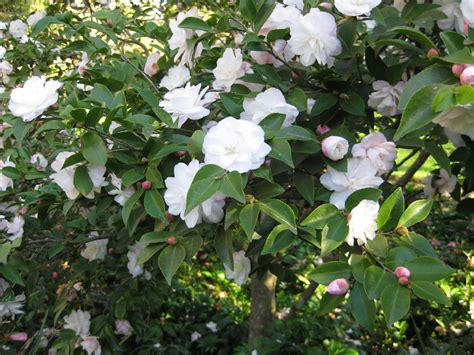 camellia time at the royal melbourne botanical gardens is july and august melbourne places