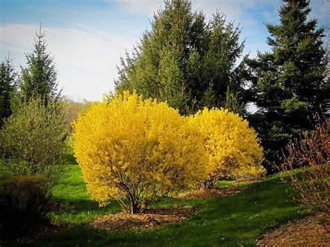 Gardenias by Lynwood Gold Forsythia For Sale Online The Tree Center