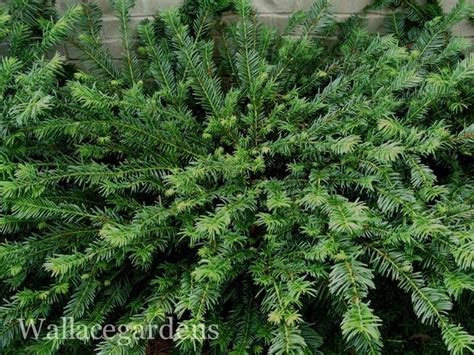 creeping yew full shade ground cover woodland shade garden pinterest gardens cottages