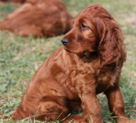 light brown puppy light brown pictures of setter puppies png