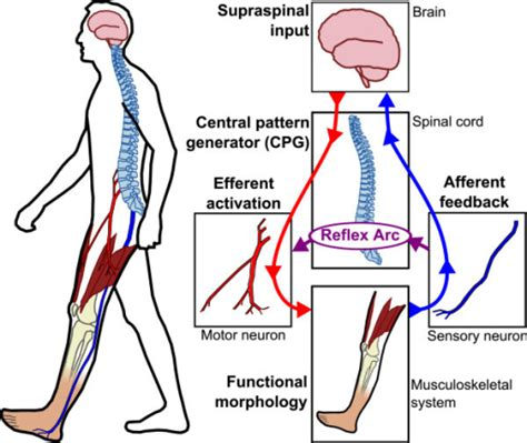central pattern generator human locomotion nominal sensory motor control loop for human locomotion