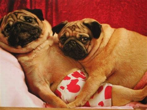 pug lover pugs in daily picks and flicks