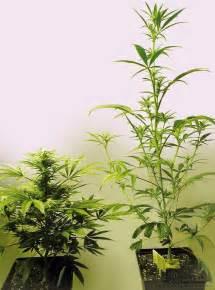le croissance et floraison cannabis cannabis hash marihuana hemp museum