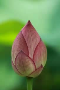 Lotus Bud Slim Lotus Bud Flowers