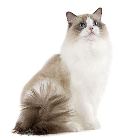 ragdoll weight cat breeds ragdoll royal canin