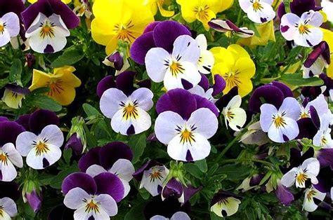 fiori invernali pans 232 fiori invernali casafacile