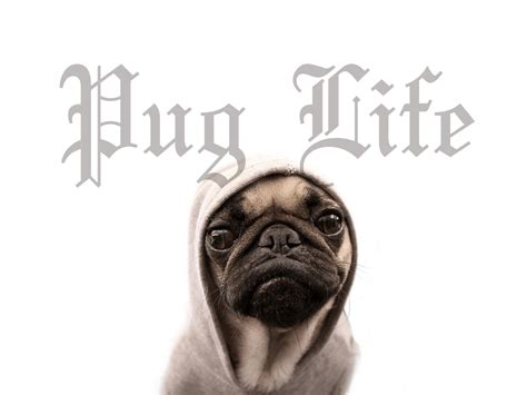 pug backgrounds for desktop pug wallpapers wallpaper cave
