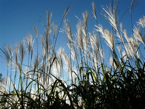 source for miscanthus grass rhizomes for sustainable