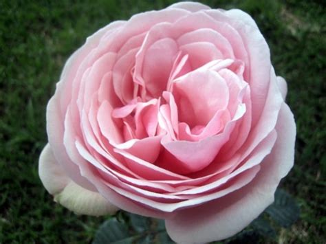 Garden Roses by Aphrodite Garden Roses Flowers By Category