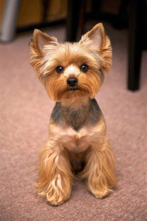 yorkie shedding a lot 1000 ideas about yorkie hairstyles on shih tzu shih tzu puppy and yorkie