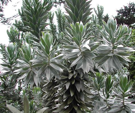 silver trees amazing quot silver tree quot endangered leucadendron