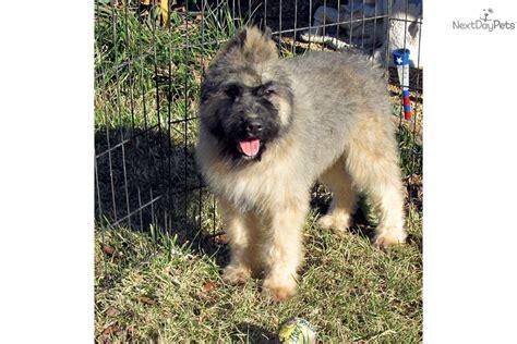 bouvier des flandres puppies for sale bouvier des flandres puppy for sale near southeast missouri missouri 7c013e2c c7d1