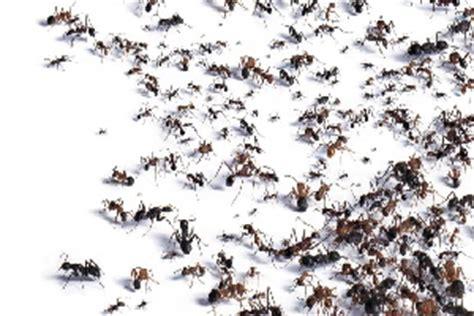 ameisen im rasen wirksam bek mpfen 2436 ameisen im garten vernichten rote ameisen im garten