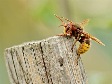 hornissennest im haus hornissennest am grundst 252 ck so verh 228 lt sich richtig