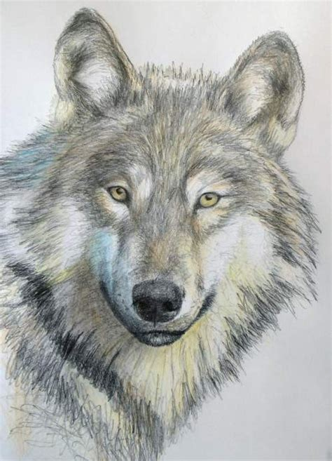 wolves drawings how to draw a wolf in pencil lessons