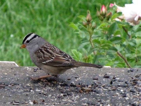 wednesday wings a plethora of sparrows bird canada