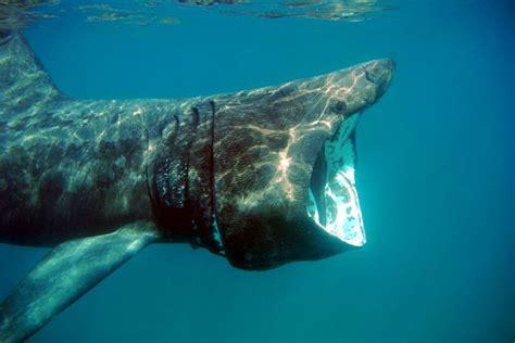 Tlf 45 Shark 17 best images about basking sharks cetorhinus maximus