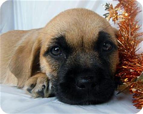shih tzu mastiff mix tootsie adopted puppy thousand oaks ca mastiff shih tzu mix