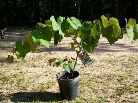 concord grape vine 1 gal plants vines vineyard home garden plant healthy grapes ebay
