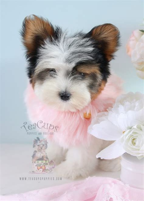 teacup yorkies for sale in florida teacup yorkies for sale by teacups puppy boutique teacups puppies boutique