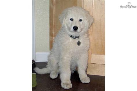 kuvasz puppies for sale kuvasz puppy breeds picture