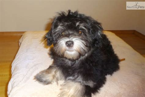 havanese seattle havanese for sale for 1 250 near seattle tacoma washington 0a433848 d731