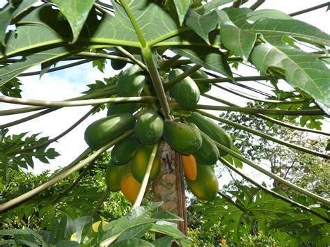 gambar cabang menanam buah bunga makanan rimba