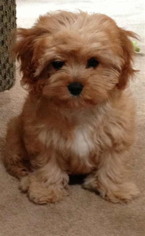 cavapoo puppies cavapoo breed 187 breed info pictures more