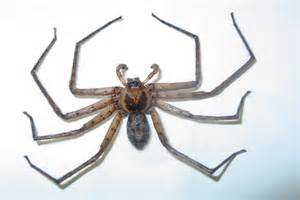 Are Bed Bugs Flat Stewarts Pest Control Huntsman Spiders