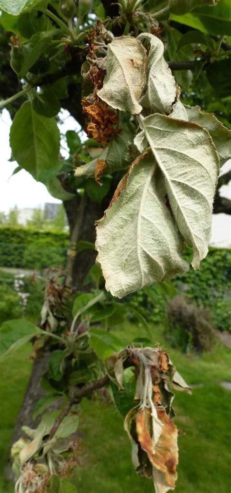 apfelbaum mehrere sorten mehltau an apfelbaum wie bek 228 mpfen phlora de