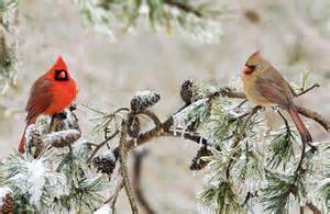 wild birds unlimited northern cardinals flock in the fall
