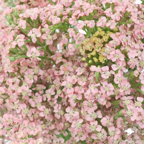 Yarrow Cottage by Light Pink Cottage Yarrow Flowers