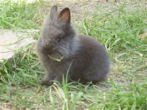 coniglio testa di 10 razze di conigli pi 249 comuni in italia burgess italia