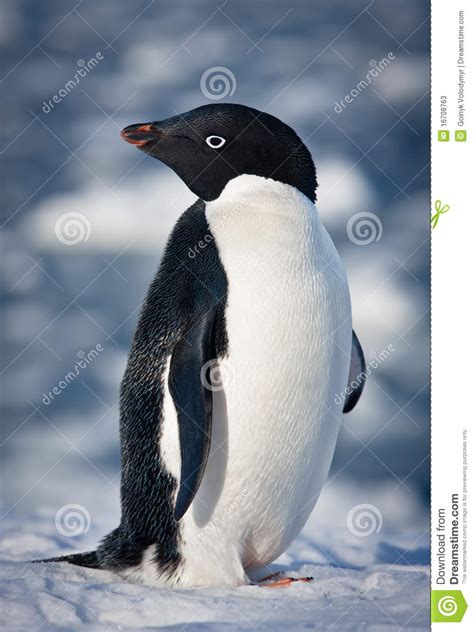 black  white penguin stock image image  individual