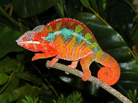 chameleon color change ai insurance chameleons don t change color to match