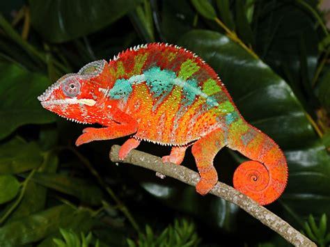 chameleon color change do you how chameleons change color here s the answer