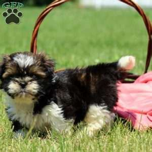 havanese puppies for sale in columbus ohio havanese puppies for sale in pa md ny nj