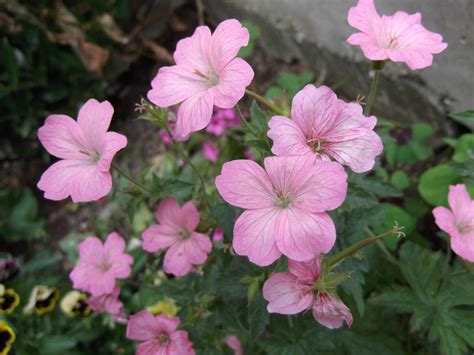 hardy geranium plant pink flowers ebay