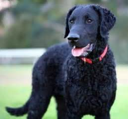 13 best Curly Coated Retriever images on Pinterest | Curly ...