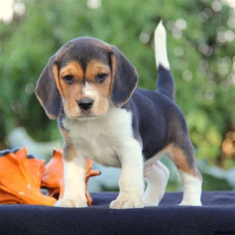 beagle puppies for sale in beagle puppies for sale beagle breed information greenfield puppies
