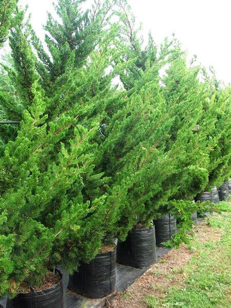 Bibit Buah Naga Bekasi jual pohon cemara di bekasi jual bibit tanaman unggulan