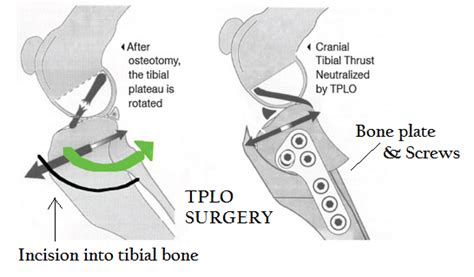 tplo surgery cruciate ligament rupture tplo san diego bay animal hospitalsan diego bay animal