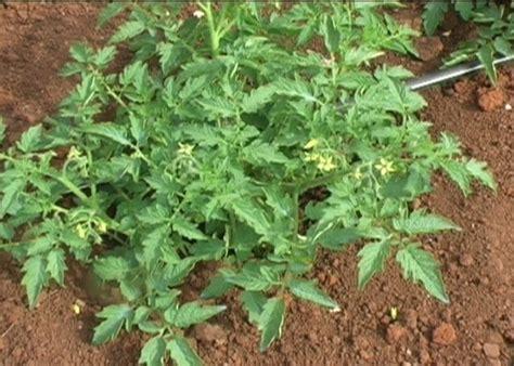 pianta di pomodoro in vaso come salvare i pomodori nostro orto